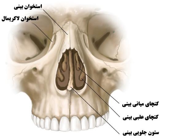 ساختار و آناتومی بینی